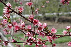 Reliance Peach (Prunus persica 'Reliance') at Culver's Garden Center