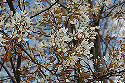 Autumn Brilliance Serviceberry (Amelanchier x grandiflora 'Autumn Brilliance (tree form)') at Culver's Garden Center