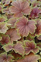 Delta Dawn Coral Bells (Heuchera 'Delta Dawn') at Culver's Garden Center