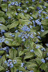 Silver Heart Bugloss (Brunnera macrophylla 'Silver Heart') at Culver's Garden Center
