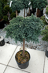 Blue Star Juniper (Juniperus squamata 'Blue Star (tree form)') at Culver's Garden Center