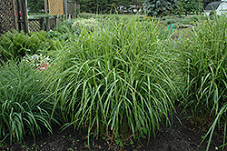 Porcupine Grass (Miscanthus sinensis 'Strictus') at Culver's Garden Center