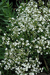 Festival™ Star Baby's Breath (Gypsophila paniculata 'Festival Star') at Culver's Garden Center