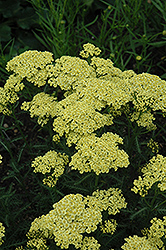 Sunny Seduction Yarrow (Achillea millefolium 'Sunny Seduction') at Culver's Garden Center