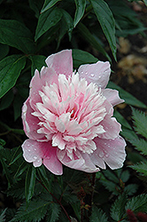 Raspberry Sundae Peony (Paeonia 'Raspberry Sundae') at Culver's Garden Center