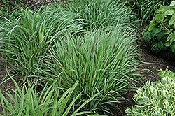 Cheyenne Sky Switch Grass (Panicum virgatum 'Cheyenne Sky') at Culver's Garden Center