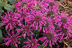 Balmy Purple Beebalm (Monarda didyma 'Balbalmurp') at Culver's Garden Center