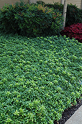 Green Sheen Japanese Spurge (Pachysandra terminalis 'Green Sheen') at Culver's Garden Center