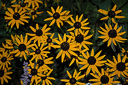 Little Goldstar Coneflower (Rudbeckia fulgida 'Little Goldstar') at Culver's Garden Center