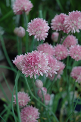 Forescate Chives (Allium schoenoprasum 'Forescate') at Culver's Garden Center