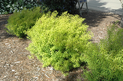 Mellow Yellow Spirea (Spiraea thunbergii 'Mellow Yellow') at Culver's Garden Center