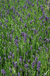 Thumbelina Leigh Lavender (Lavandula angustifolia 'Thumbelina Leigh') at Culver's Garden Center