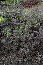 Black Negligee Bugbane (Cimicifuga racemosa 'Black Negligee') at Culver's Garden Center