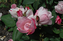 Blushing Knock Out® Rose (Rosa 'Radyod') at Culver's Garden Center