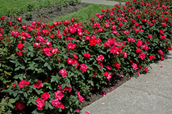 Knock Out® Rose (Rosa 'Radrazz') at Culver's Garden Center
