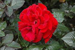 Drop Dead Red Rose (Rosa 'Drop Dead Red') at Culver's Garden Center