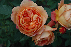 Lady Of Shalott Rose (Rosa 'Ausnyson') at Culver's Garden Center