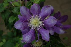 Chevalier Clematis (Clematis 'Evipo040') at Culver's Garden Center