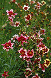 Berry Chiffon Tickseed (Coreopsis 'Berry Chiffon') at Culver's Garden Center