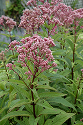 Baby Joe Dwarf Joe Pye Weed (Eupatorium dubium 'Baby Joe') at Culver's Garden Center