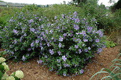 Blue Chiffon® Rose of Sharon (Hibiscus syriacus 'Notwoodthree') at Culver's Garden Center