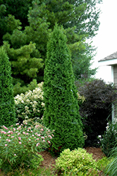 North Pole® Arborvitae (Thuja occidentalis 'Art Boe') at Culver's Garden Center