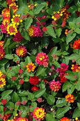 Evita Rose Lantana (Lantana 'Evita Rose') at Culver's Garden Center