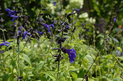 Black And Blue Anise Sage (Salvia guaranitica 'Black And Blue') at Culver's Garden Center