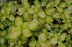 Terra Nova® Electric Slide Coleus (Solenostemon scutellarioides 'Electric Slide') at Culver's Garden Center