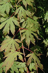 North Wind Japanese Maple (Acer 'IsINW') at Culver's Garden Center