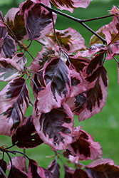 Tricolor Beech (Fagus sylvatica 'Roseomarginata') at Culver's Garden Center