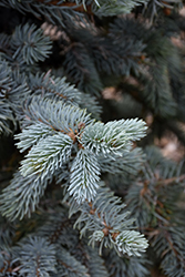Hoopsii Blue Spruce (Picea pungens 'Hoopsii') at Culver's Garden Center