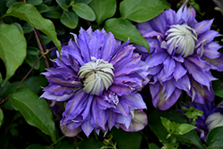 Diamantina Clematis (Clematis 'Diamantina') at Culver's Garden Center