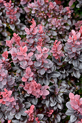 Concorde Japanese Barberry (Berberis thunbergii 'Concorde') at Culver's Garden Center