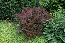 Crimson Ruby Barberry (Berberis thunbergii 'Criruzam') at Culver's Garden Center
