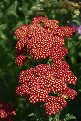 Strawberry Seduction Yarrow (Achillea millefolium 'Strawberry Seduction') at Culver's Garden Center
