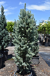 Blue Totem Spruce (Picea pungens 'Blue Totem') at Culver's Garden Center