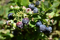 Jelly Bean® Blueberry (Vaccinium 'ZF06-179') at Culver's Garden Center