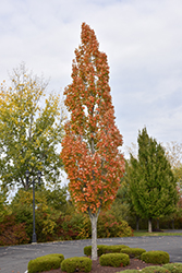 Armstrong Maple (Acer x freemanii 'Armstrong') at Culver's Garden Center