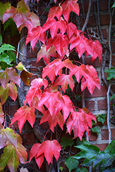 Boston Ivy (Parthenocissus tricuspidata) at Culver's Garden Center