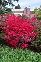 Compact Winged Burning Bush (Euonymus alatus 'Compactus') at Culver's Garden Center