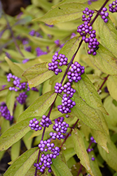Early Amethyst Beautyberry (Callicarpa dichotoma 'Early Amethyst') at Culver's Garden Center