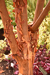 Paperbark Maple (Acer griseum) at Culver's Garden Center