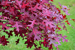 Scarlet Oak (Quercus coccinea) at Culver's Garden Center