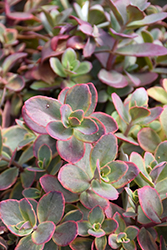 Wildfire Stonecrop (Sedum 'Wildfire') at Culver's Garden Center