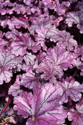 Forever® Purple Coral Bells (Heuchera 'Forever Purple') at Culver's Garden Center