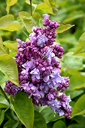 Katherine Havemeyer Lilac (Syringa vulgaris 'Katherine Havemeyer') at Culver's Garden Center