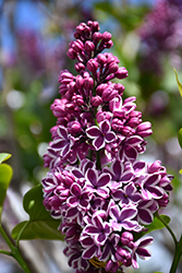 Sensation Lilac (Syringa vulgaris 'Sensation') at Culver's Garden Center