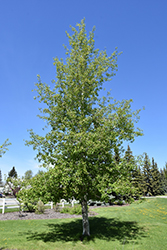 Trembling Aspen (Populus tremuloides) at Culver's Garden Center