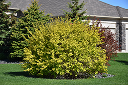 Dart's Gold Ninebark (Physocarpus opulifolius 'Dart's Gold') at Culver's Garden Center